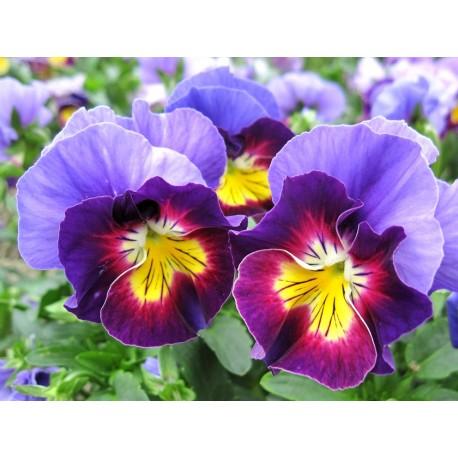 Pianta di Viola a fiore piccolo Le Stelle Vega