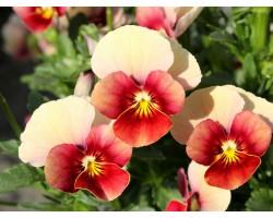 Pianta di Viola a fiore piccolo Le Stelle Maya