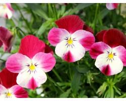 Pianta di Viola a fiore piccolo Le Stelle Castor