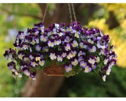 Pianta di Viola a fiore piccolo Le Stelle Antares