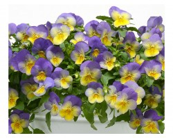 Pianta di Viola ricadente Cool Wave Frost