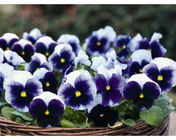 Pianta di Viola a fiore grande Inspire Plus True blue
