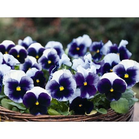 Pianta di Viola a fiore grande Inspire Plus Beaconfield