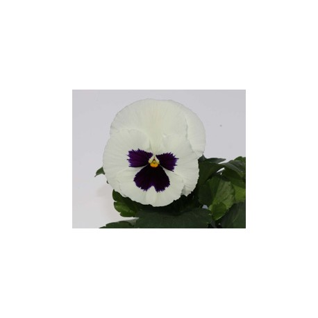 Pianta di Viola a fiore grande Inspire Plus White blotch