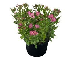 Pianta di Alstroemeria Summer Relieve in vaso 17 cm