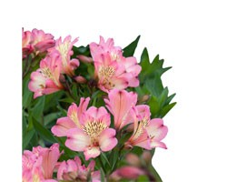 Pianta di Alstroemeria Summer Relieve in vaso 17 cm