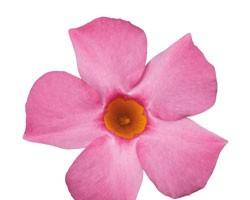 Pianta di Dipladenia Sundaville Beauty Pink (Vaso 12 cm)