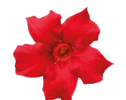 Pianta di Dipladenia Sundaville Beauty bright red (Vaso 12 cm)