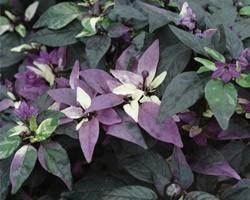 Pianta di Peperoncino Ornamentale Purple Flash (Vaso 14 cm)