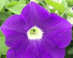 Pianta di Petunia Surfinia blue ocean (vaso 14 cm)