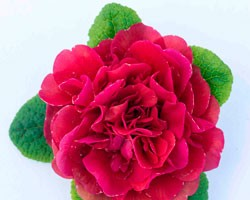 Pianta di Primula Belarina Carmen (vaso 12 cm)
