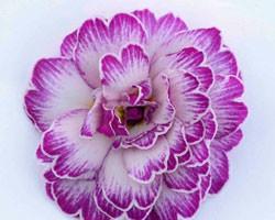 Pianta di Primula Belarina Lively Lilac (vaso 12 cm)