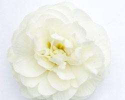 Pianta di Primula Belarina Snow (vaso 12 cm)