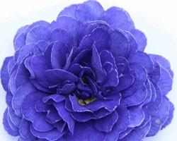 Pianta di Primula Belarina Blue Champion (vaso 12 cm)