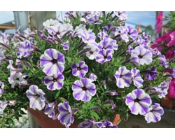 Pianta di Petunia Vivini blue star (vaso 14 cm)
