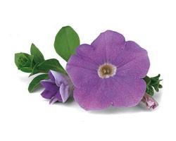 Pianta di Petunia Surfinia sky blue (vaso 14 cm)