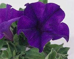 Pianta di Petunia Surfinia velvet blue (vaso 14 cm)