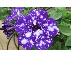 Pianta di Petunia Night sky (vaso 14 cm)