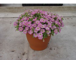 Pianta di Petunia Vivini pink (vaso 14 cm)