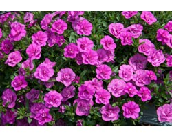 Pianta di Calibrachoa Mini Famous Double PinkMania (Vaso 14 cm)