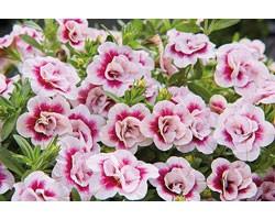 Pianta di Calibrachoa Mini Famous Double PinkTastic (Vaso 14 cm)