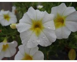 Pianta di Calibrachoa Mini Famous Uno white yellow eye (Vaso 14 cm)