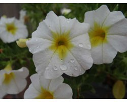 Pianta di Calibrachoa Mini Famous Uno white yellow eye (Vaso 14 cm)