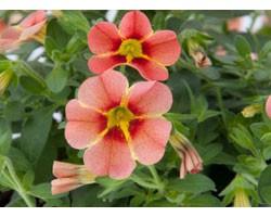 Pianta di Calibrachoa Rave peach (Vaso 14 cm)