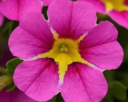 Pianta di Calibrachoa Rave pink 16 (Vaso 14 cm)