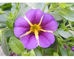 Pianta di Calibrachoa Rave violet (Vaso 14 cm)