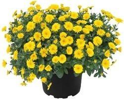Pianta di Calendula Power Daisy (Vaso 14 cm)