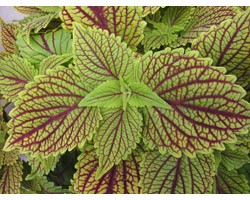 Pianta di Coleus Golden dream (vaso 14 cm)