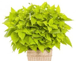 Pianta di Coleus Lime time (vaso 14 cm)