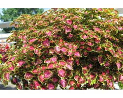 Pianta di Coleus Great falls Angel (vaso 14 cm)