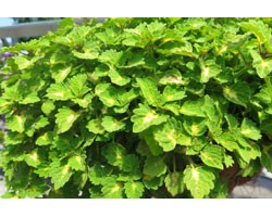 Pianta di Coleus Great falls Yosemite (vaso 14 cm)