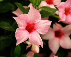 Pianta di Dipladenia Sundaville Classic cream pink (Vaso 12 cm)