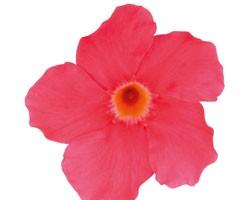 Pianta di Dipladenia Sundaville Grand rose (Vaso 12 cm)