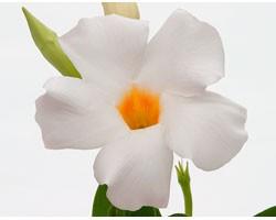 Pianta di Dipladenia Sundaville Cosmos white (Vaso 12 cm)