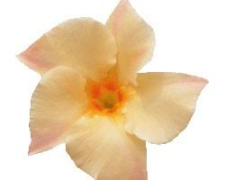 Pianta di Dipladenia Sundaville Classic apricot (Vaso 12 cm)