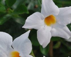 Pianta di Dipladenia Sundaville Classic white '16 (Vaso 12 cm)