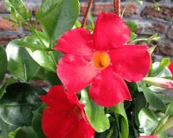 Pianta di Dipladenia Sundaville Classic early scarlet (Vaso 12 cm)