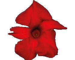 Pianta di Dipladenia Sundaville Cosmos Crimson King red (Vaso 12 cm)