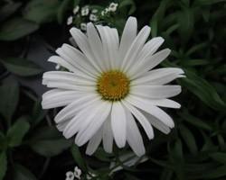 Pianta di Leucanthemum Daisy May (Vaso 14 cm)
