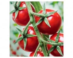 Pianta di Pomodoro F1 Prezioso (Vaschetta da 4 piante)