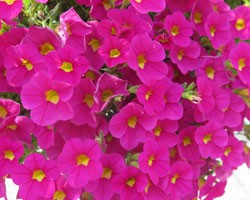 Pianta di Calibrachoa hot pink (Vaso 14 cm)