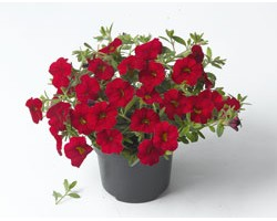 Pianta di Calibrachoa red (Vaso 14 cm)