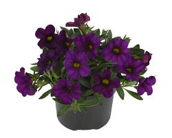 Pianta di Calibrachoa purple (Vaso 14 cm)
