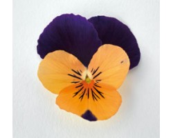 Pianta di Viola a fiore piccolo Admire Orange purple wing
