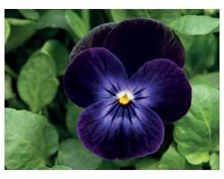 Pianta di Viola a fiore piccolo Admire Deep purple