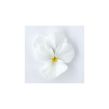 Pianta di Viola a fiore piccolo Admire White